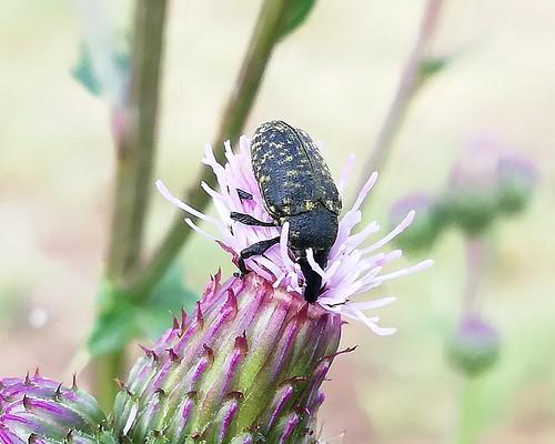 Hübscher, aufgrund der Sprenkel grün schimmernder Käfer