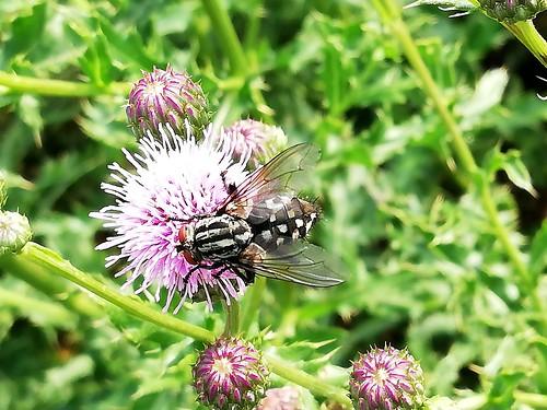 Fliege (unbestimmt) (Brachycera indet.) (4)