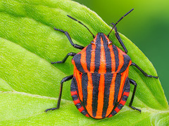 Insekten - Wanzen