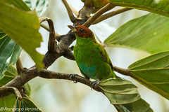 Rufous-winged Tanager - Nusagandi - Panama CD5A2716