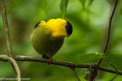 Golden-collared Manakin - Darien - Panama CD5A1281