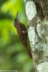 Cocoa Woodpecker - Lake Bayano - Panama CD5A7460