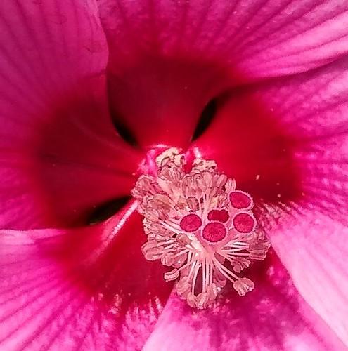 Cœur d'une fleur d'hibiscus