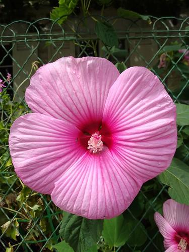 Taille hors norme pour cette fleur d'hibiscus