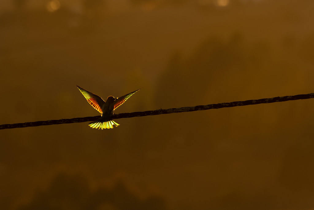 European Bee-Eater Back-lit By The Setting Sun