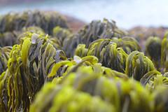 Seaweed-2019-100