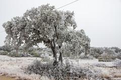 Ice covered oak tree