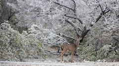 Whitetail Deer in Winter Landscape