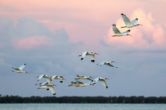 White Ibis Inflight at Sunset