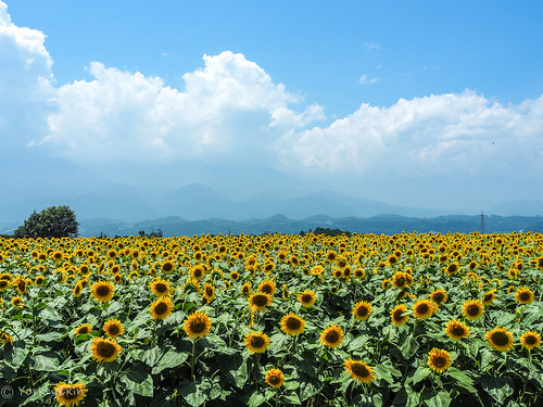 2019 Sunflower field #2