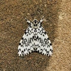 Empingham Moths