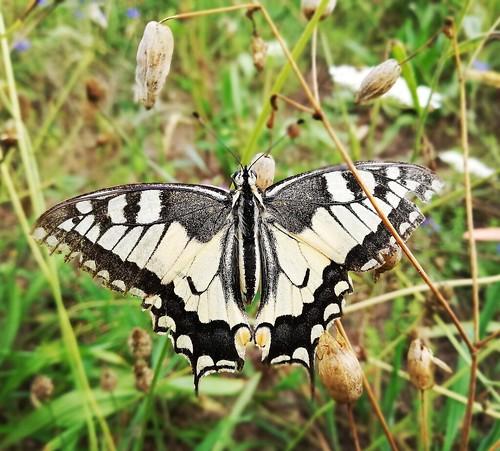 Papilio machaon?