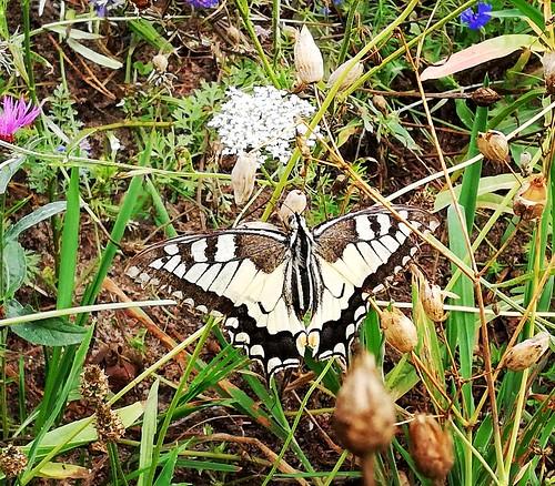 Papilio machaon (3)