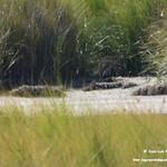 Aves en las lagunas de La Guardia (Toledo) 4-8-2019