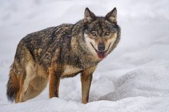 Wolf standing in the snow and looking at me
