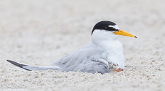 Image by NorthShoreTina (northshoretina) and image name Shhhh,,,baby's sleeping photo  about Least Terns