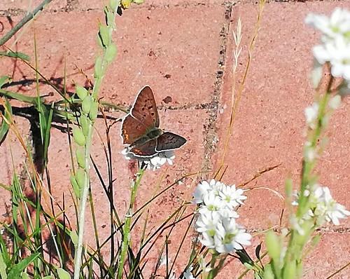Schmetterling (unbestimmt) (Lepidoptera indet.) (2)