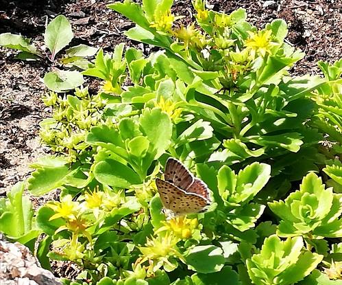 Schmetterling (unbestimmt) (Lepidoptera indet.) (3)