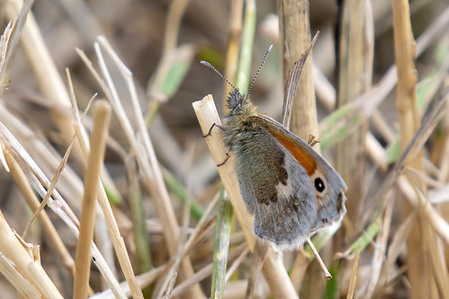 Hooibeestje-Small heath (Coenonympha pamphilus)