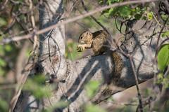 Smith-Buschhörnchen / Smith's bush squirrel