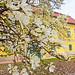 2016.04.01. A kastély virágzó liliomfája - Fotók:PURGEL ZOLTÁN©