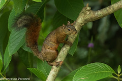 Red-tailed Squirrel - Darien - Panama CD5A1115