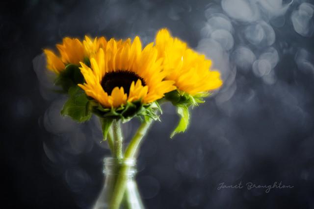 Sunflowers & Bokeh {overlay}