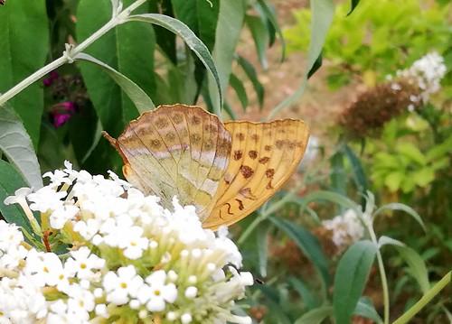 Schmetterling (unbestimmt) (Lepidoptera indet.) (4)
