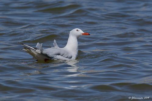 Gaivota de bico fino - Chroicocephalus genei - Slender billed gull