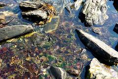 Rocks and seaweed, Rachel Carson Salt Pond Preserve, New Harbor, Maine