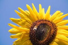 Honigbiene auf einer Sonnenblume