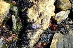 Seaweed at low tide, Rachel Carson Salt Pool Preserve, New Harbor, Maine