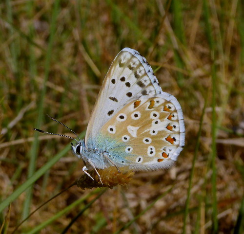 Polyommatus albicans (Spanish chalk hill blue)