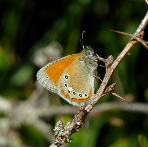 Coenonympha glycerion (Chestnut heath)