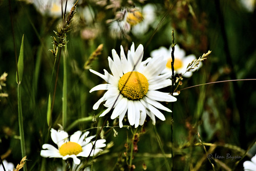0280 Gewone margriet - daisy