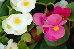 Florecillas blancas y fucsias