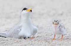 Image by NorthShoreTina (northshoretina) and image name Baby shows its independence photo  about Least Terns