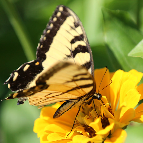 Yellow Butterfly and Zinnia