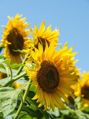 2019 Sunflower #3