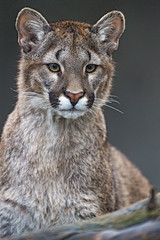 Portrait of one of the pumas