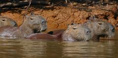Capybaras (Hydrochoerus hydrachaeris)