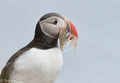 Image by NorthShoreTina (northshoretina) and image name Puffin Portrait photo  about Iceland. July 2018