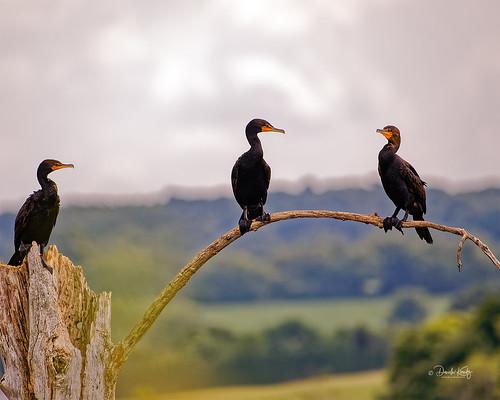 AZ6A7728 - Three Double-Crested Cormorants on a Old Tree