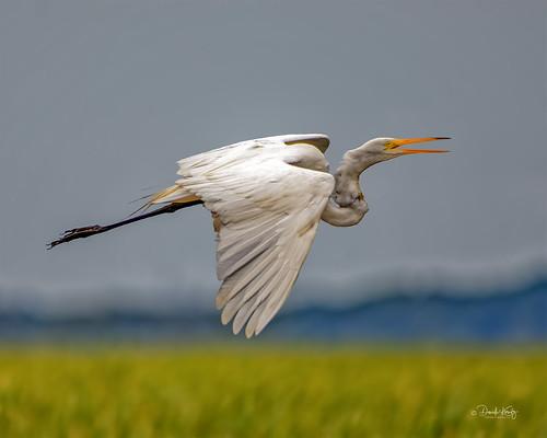 AZ6A7562 - Egret in Flight over the Marsh