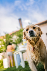 A golden retriever posing in a yard
