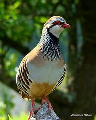 7 - Partridges > Waders