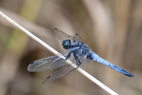 Gewone Oeverlibel-Black-tailed Skimmer (Orthetrum cancellatum)