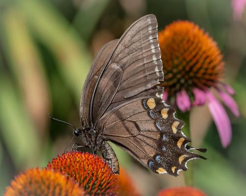 Dark Morph Tiger Swallowtail