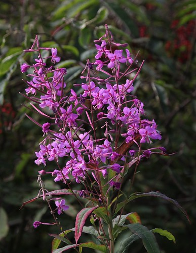 3C3A1062 Fire Weed