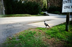 Magpie by the road